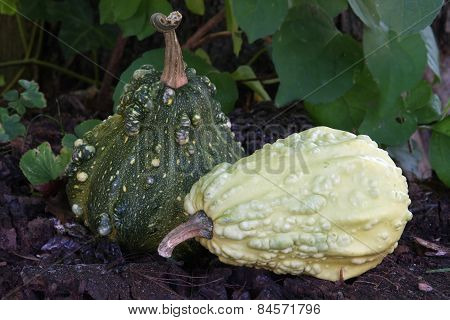 Green Gourds