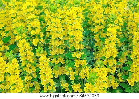Lysimachia Flowers
