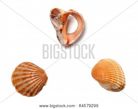 Broken Rapana And Seashells