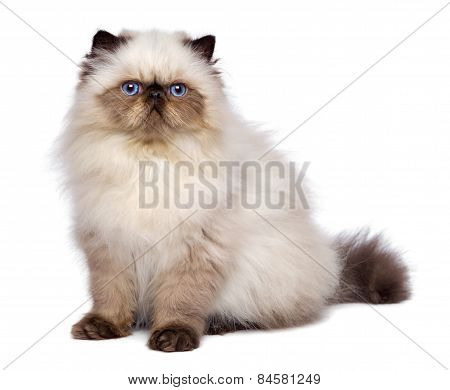 Cute 3 Month Old Persian Seal Colourpoint Kitten Is Sitting
