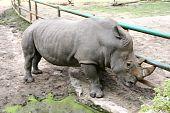 A big grey rhino (rhinoceros) in zoo poster