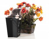 An adorable gray kitten trying to get out of a back Halloween container next to a pot of fall flowers.  Isolated on white. poster
