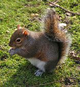 a grey squirrel eating food poster