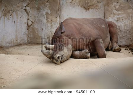 Black Rhinoceros Lying On The Ground
