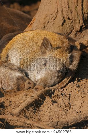Sleeping Wild Boars