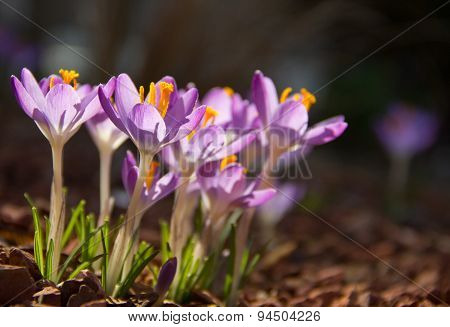 Crocusses in the sun