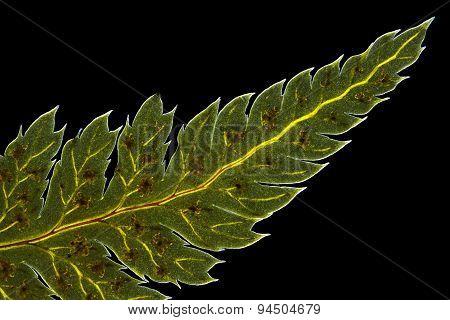 Broad buckler fern (Dryopteris dilatata) leaf tip with sporangia. Polarized light crossed polarizers. poster