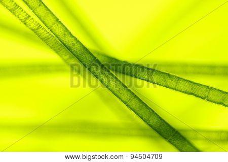 Microscopic View Of Green Algae (Spirogyra)