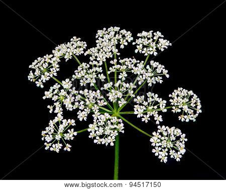 A macro close-up of Queen Anne's lace wildflower against a black background. poster