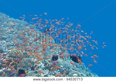Coral Reef  With Shoal Of Fishes Anthias In Tropical Sea, Underwater