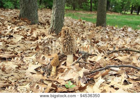 Close-up of a Huge Morel Mushrooms in the Wild