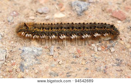 Euthrix Potatoria Caterpillar On Ground