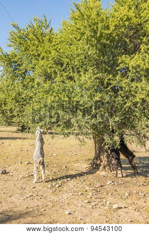 Goats eating argan tree leaves - Morocco, Taroudant region