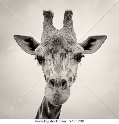 Vintage Sepia Toned Image Of A Giraffes Head