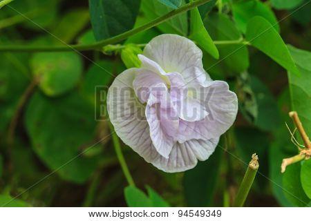 Clitoria ternatea or butterfly pea flower in garden poster