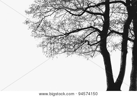 Alder tree branches silhouette, vector