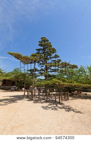 Black Pine (pinus Thunbergii) In Matsuyama Castle, Japan