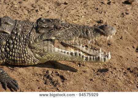 Crocodile Portrait