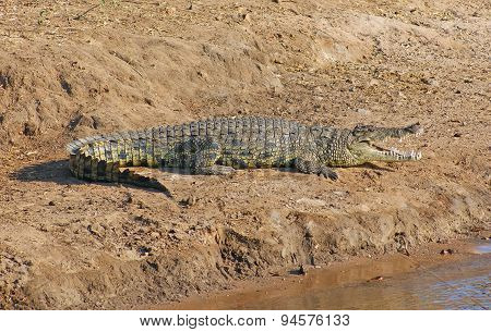 Crocodile In Botswana