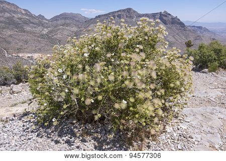 Apache Plume In Bloom In Desert