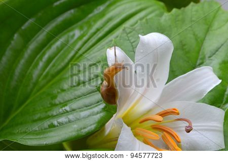 Little snail crawling on a white lily covered with dew poster