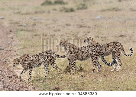 Group Of Cheetahs Crossing Country Road