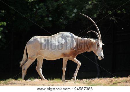 Scimitar oryx (Oryx dammah), also known as the Sahara oryx or scimitar-horned oryx. Wildlife animal.