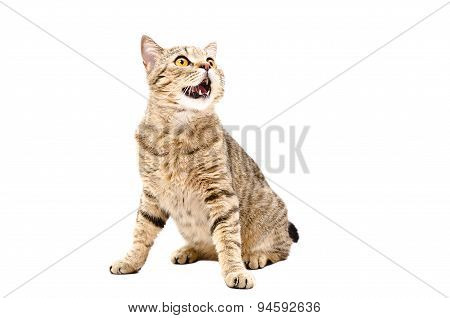 Cat Scottish Straight sitting with mouth open