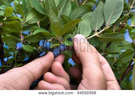 Gathering Berries Honeysuckle, Closeup