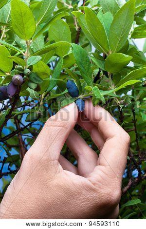 Hand Gathering Berries Honeysuckle, Closeup