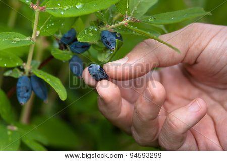 Women Hand Gathering Berries Honeysuckle