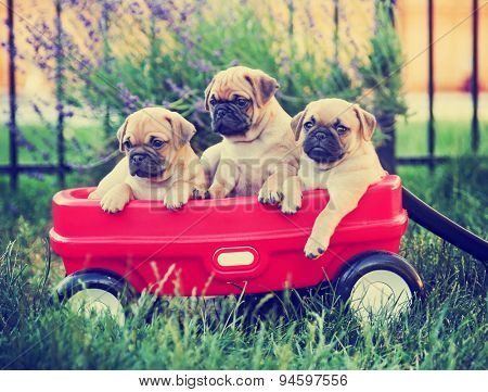 Three  pug chihuahua mix - chug-  puppies  in a red wagon toned with a retro vintage instagram filter effect app or action