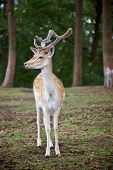 young deer posing in the forest germany poster