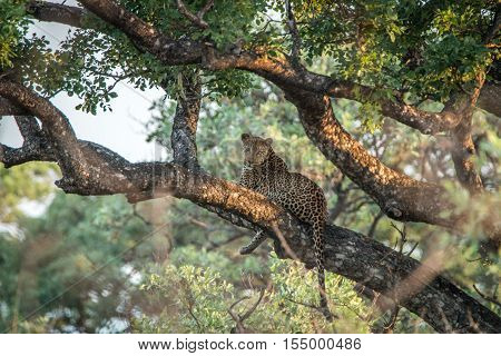Leopard Laying In A Tree.