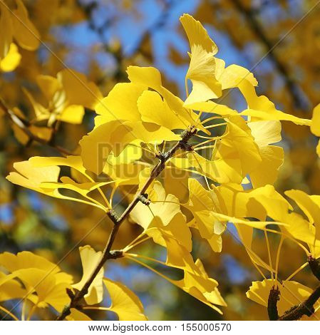 Leaves of Ginkgo tree in autumn - close-up photo selected focus narrow depth of field
