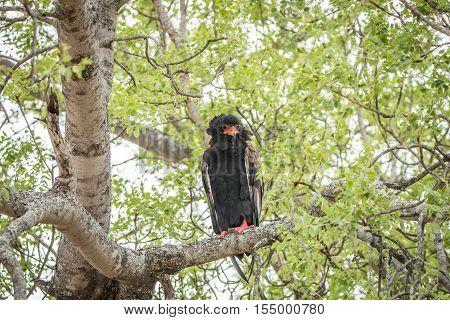 Bateleur Sitting In A Tree.
