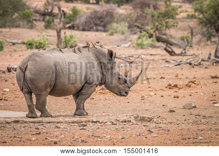 White Rhino With Lots Of Red-billed Oxpeckers On His Back.
