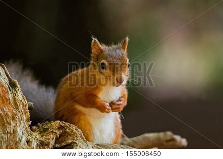 British native Red Squirrel with front paws up on Brownsea Island Dorset