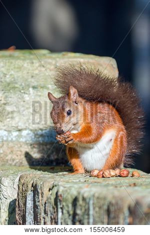 British native Red Squirrel posing on wall on Brownsea Island Dorset