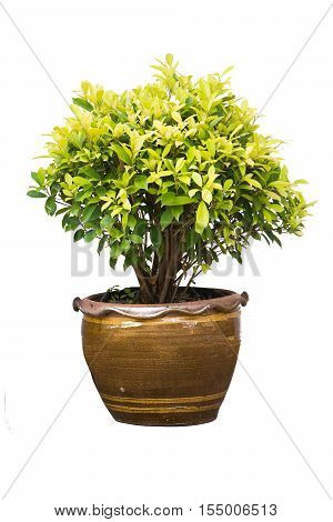 Ficus altissima Blume tree isolated on white background