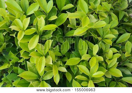 fresh leaves ficus altissima Blume tree background