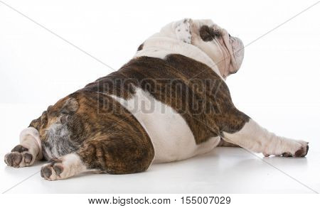 bulldog viewed from the backside on white background