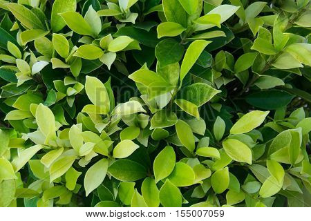 Leaves ficus altissima Blume tree background, green leaves