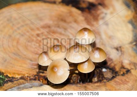 A clump of clustered bonnet fungus (Mycena inclinata) on a severed tree stump. Autumnal colours. Shallow depth-of field.