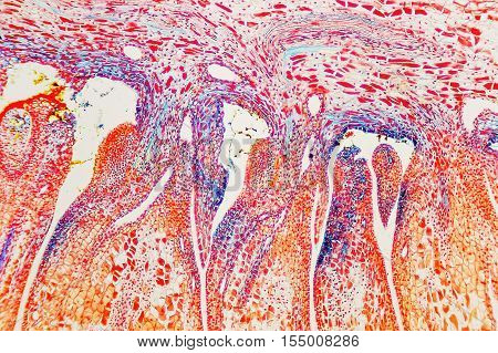 Cell Microscopic- Flower Ovary