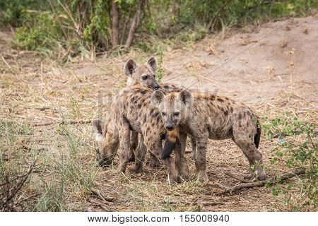 Three Young Spotted Hyenas In The Kruger.