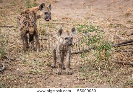 Two Young Spotted Hyenas In The Kruger.