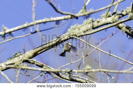 Golden-crowned Kinglet hovering below mossy tree branch