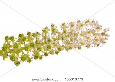 Pokeweed with flowers and green berries (Phytolacca acinosa) isolated on white