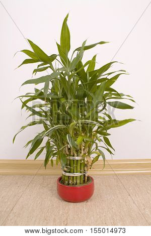 One Houseplant Dracaena sanderiana in red flowerpot